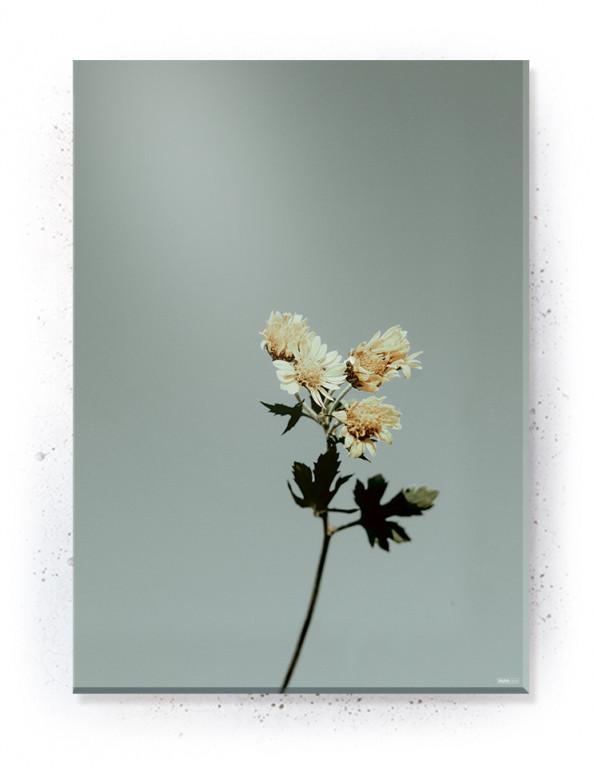 Plakat / Canvas / Akustik: Floret (Withered)