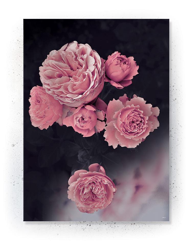 Plakat / canvas / akustik: Rose No. 2 (MIDSOMMER)